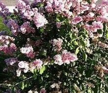 does anyone know what the name of this shrub is, flowers, gardening