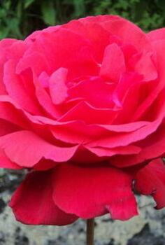 roses amp earwigs, gardening