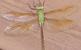 dragonflies in our garden, flowers, gardening, pets animals, This guy hung out on the underside of our walkway for most of the day