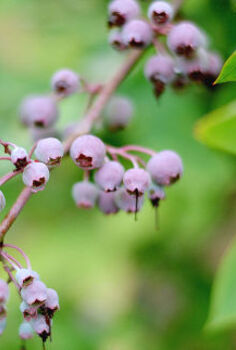 tips on growing blueberries, container gardening, flowers, gardening