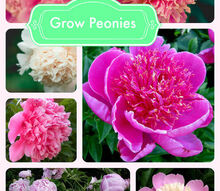 grow peonies, flowers, gardening