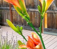 q how do you overwinter potted daylilies, gardening