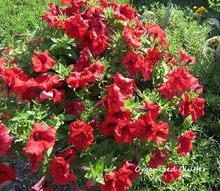 deadheading the beauty bane of flower gardening, flowers, gardening, Petunia after