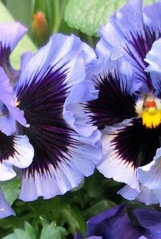 spring is blossoming, gardening, Ruffled Pansies