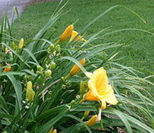 making daylilies bloom again, flowers, gardening, last few blooms on Stela d Oro
