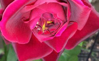 lake home gardening, flowers, gardening, hibiscus