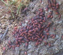 q what type of bugs are these they are all over my trees in the front yard, gardening, pest control, bugs