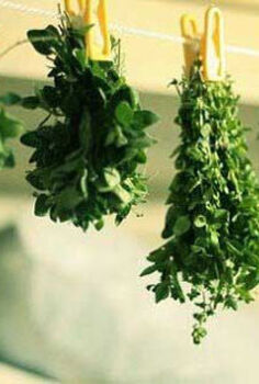 harvesting and preserving herbs, gardening, Bunch drying hang tied bunches of herbs upside down on an indoor clothesline pegs nails or drying rack in a dark and dry location