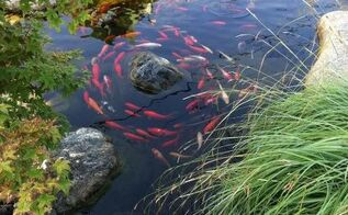 bring your landscape to life with koi, outdoor living, ponds water features, Koi do play follow the leader Who s the leader