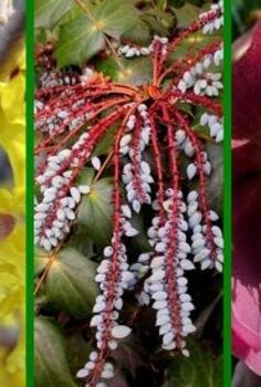 late winter bloomers, gardening, Late Winter Gardens can be colorful too