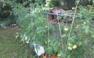 gardening, gardening, My tomatoes growing in buckets