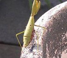 post, I found this preditor sun bathing on my back deck near my hummingbird feeder