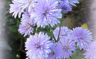 can anyone tell me whether these flowers are asters or daisies, flowers, gardening