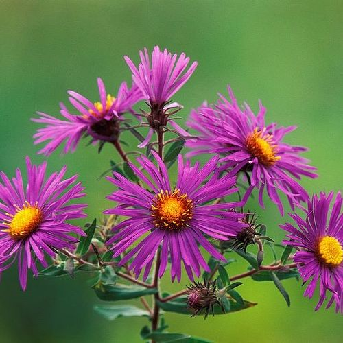 asters in florida  hometalk, Beautiful flower
