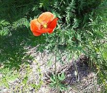 these plants are both common but i would like to know their names, gardening, This Poppy is growing wild on the river bank