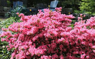 spring is blooming, flowers, gardening, perennials, Azalea