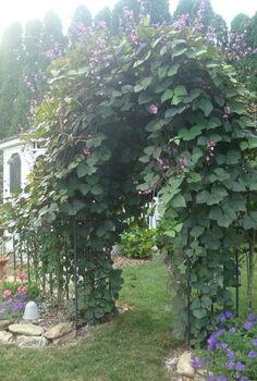 hyacinth bean vine, gardening, Hyacinth bean vine so lovely