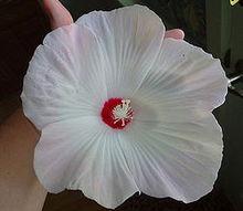 swamp rose mallow, flowers, gardening, hibiscus