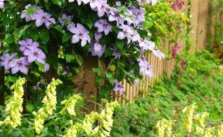 yellow foxgloves in the shade path garden, gardening, landscape, Digitalis grandiflora and Clematis William Kennett in our garden this week