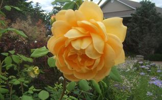 easy tips for pruning roses, gardening, Rose Golden Celebration shrub rose