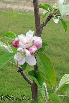 the beginning of our fruit orchard, flowers, gardening, hibiscus, Apple Tree Blooms Aren t they just beautiful