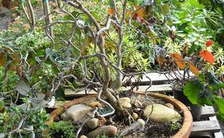 bare bones gardening, flowers, gardening, Contorted Filbert has possibly the most awesome structure this is a semi bonsi specimen most are planted as a focal point in a small garden area