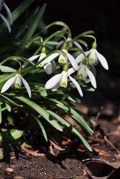 get an jumpstart on spring with small scale bulbs, flowers, gardening, Snowdrops are the first bulbs to bloom in my garden
