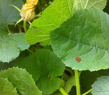 beneficial insects can be very effective when it comes to pest control in the garden, gardening, pest control, Lady Bug eggs