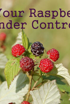 clip back your raspberries for a neat berry patch and easier picking, gardening