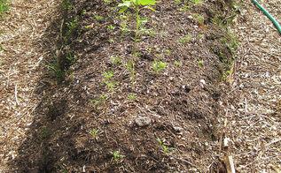 hugelkultur raised beds by mindful making, gardening, raised garden beds, Seedlings emerging