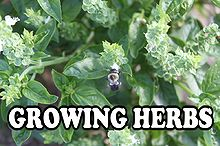 growing herbs great for your garden and your kitchen, container gardening, flowers, gardening, Basil is easy to grow and has so many uses in the kitchen