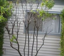 spindly lilac, gardening
