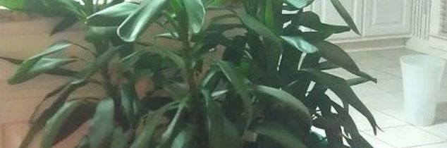 q unruly and rebellious houseplants how do i control them, gardening, I think this is a kind of Dracaena