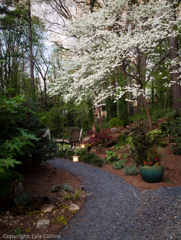 of the path to our backyard patio at home the large dogwoods define