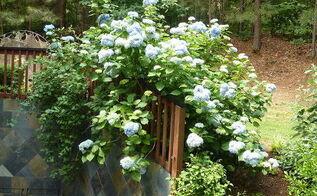 my giant hydrangea bush is popping, flowers, gardening, hydrangea, On May 12th