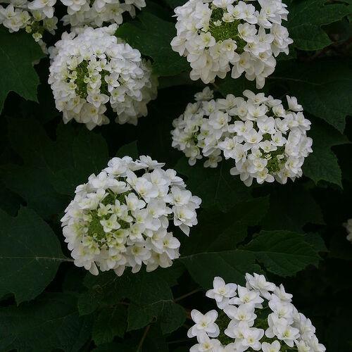 double flowered selection of oakleaf hydrangea
