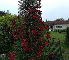 whats blooming in my garden today, gardening, Grandma Rose