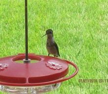 hummingbirds, outdoor living, pets animals, we name it nervous because it is always nervous lol