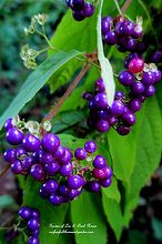 celebrate your garden s all stars, flowers, gardening, perennials, Beautyberry for the birds Callicarpa Early Amethyst tiny pink spring flowers and berries in the fall