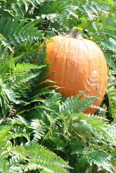 fall pumpkins and gourds, gardening, seasonal holiday decor, Pumpkins in Ferns