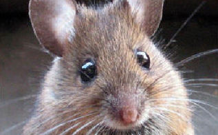q what s the most effective way to get rid of mice in the house, pest control