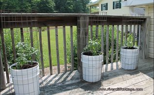 growing tomatoes in five gallon buckets, gardening, These plants are on my deck easy access to my water hose but don t over water Tomatoes are sweeter when they are in dryer soil