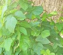 poison ivy or not, gardening