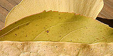 test your leaf lingo and win a 250 home depot gift card i love the golden leaves, gardening, What plants did these three yellow leaves come from
