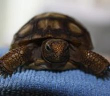 this little guy will enjoy the gopher apple we added to our tortoise rehab space, pets animals, Healing well