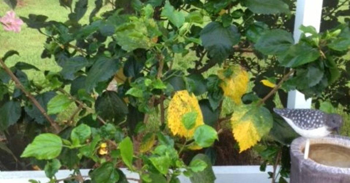 Hibiscus Leaves Turning Yellow Related Keywords Suggestions