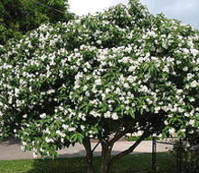 what types of plants and trees grow well in arizona in fall winter, flowers, gardening, Texas Olive This shrub works great in any backyard or garden and produces a very pretty white flower It grows slowly and has a solid trunk