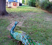 a peacock in the backyard, outdoor living