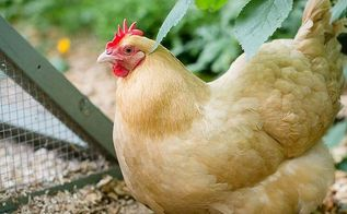 keeping backyard chickens, homesteading, pets animals
