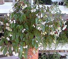 the impatien dilemma, flowers, gardening, Begonia dragon wings